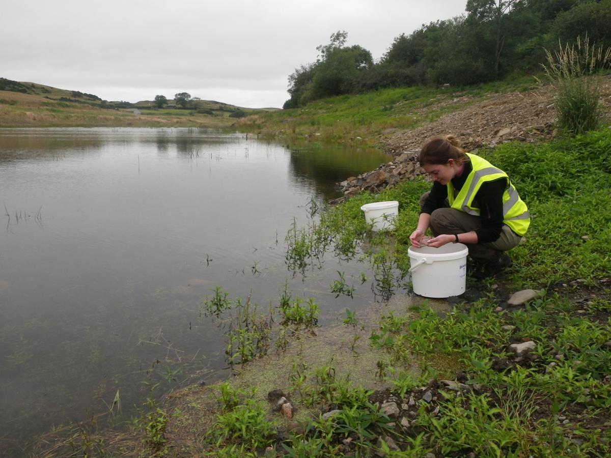 Releasing sticklebacks into Buittle Reservoir